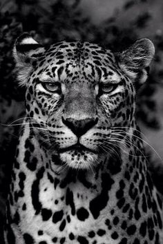 Sognando l& - … The Effective Pictures We Offer You About diy A quality picture can tell you - Black And White Picture Wall, Black And White Pictures, Beautiful Cats, Animals Beautiful, Animals And Pets, Cute Animals, Jaguar Animal, Leopard Tattoos, Gato Grande