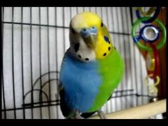 RARE PARAKEET!!! MUST SEE!!!!! CLICK HERE!!!! WOW!  I CAN NOT BELIEVE THIS!!!!!!!!
