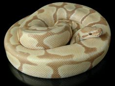 Toffe colored ball python
