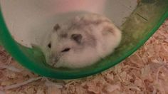 My tired little loaf #aww #Cutehamsters #hamster #hamstersofpinterest #boopthesnoot #cuddle #fluffy #animals #aww #socute #derp #cute #bestfriend #itssofluffy #rodents