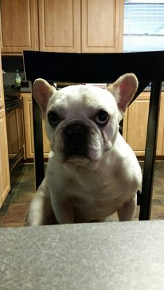 My French Bulldog, Fred, is sitting at the table lol!