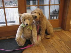 Goldendoodle-l want a big dog but this one is cute and cuddly! Cute Puppies, Cute Dogs, Dogs And Puppies, Doggies, Bear Dogs, Animals And Pets, Funny Animals, Cute Animals, Golden Retrievers