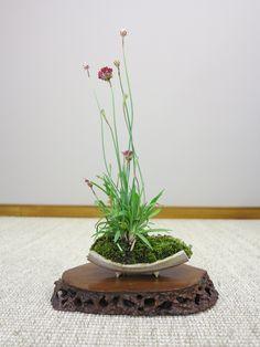 Découvrez la confection pas à pas d'un shitakusa d'armeria maritima. Une plante au feuillage et à la floraison intéressante pour les expositions de bonsaï