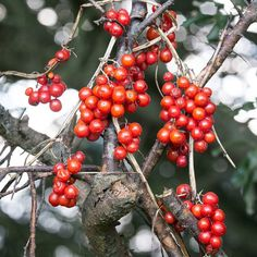 Black Bryony berries Mixen Plantation Dorset. #ukcoastwalkPhoto: Quintin Lake www.theperimeter.uk