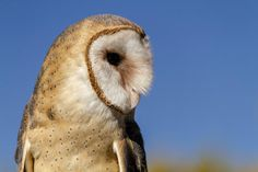 The Chemical-Free Way to Solve a Rodent Problem or in Other Words How to Attract Owls to Your Yard.