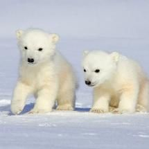 Polar Bear Cubs, photo by Howard Ruby @www.howardruby.com