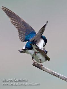 Tree Swallow (pre copulation) cloaca showing