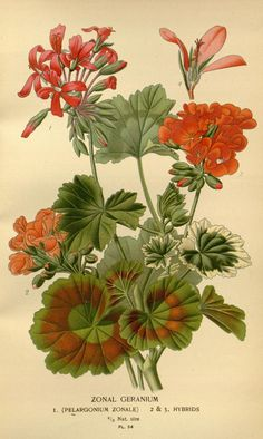 """Zonal Geranium"" - Plate 54 from ""Favourite flowers of garden and greenhouse"" (Vol. 1) by Edward Step; London and New York: Frederick Warne & co., 1896"