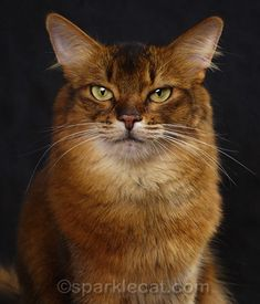 Cats | Summer, the Somali therapy cat