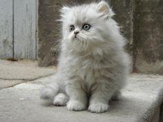 persian kittens   persian kitten photo