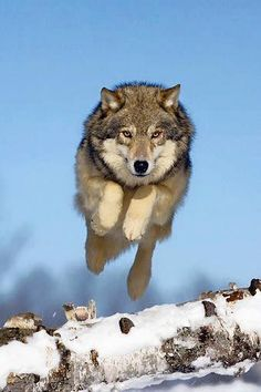 Fly..not even though you're a wolf...but BECAUSE you're a wolf.