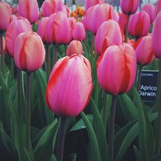 Tulip Apricot Impre