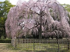 Cherry weeping tree...id love to hav one of these in my backyard!