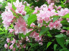File:Weigela hortensis 10.JPG