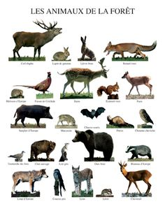 Animal Life Poster of:Forest Animals Woodland Critters, Woodland Creatures, Woodland Animals, Fun Facts About Animals, Animal Facts, Animals For Kids, Animals And Pets, Animal Fact File, Animals Tattoo