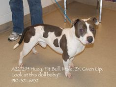 """<3 HUEY <3 Needs a home.  What a gorgeous doggy!  This sweetie pie has the sweet disposition to match, according to everyone who has met him.   Prayers, little one!  May you soon have a family to love and be loved by.  """"Friends of Cumberland County, NC Shelter Animals"""" Facebook page is sharing this doggy in need. [01/06/16]"""