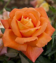 Rosa rampicante Louis de Funes ®