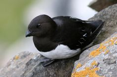 little auk at RSPB Titchwell on 7th Jan 2014