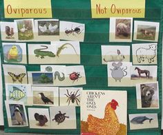 Oviparous/Not Oviparous Sort to Go With Book, Chickens Aren't the Only Ones