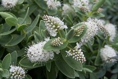Buy white hebe Hebe albicans - An impressive evergreen with white flowers: Delivery by Waitrose Garden White Gardens, Small Gardens, Outdoor Gardens, Garden Shrubs, Garden Plants, Pretty Flowers, White Flowers, Seaside Garden, Garden Fun