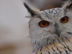 Attentive owl by fotografiapau on Creative Market