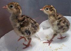 Beginners Guide To Raising Baby Chicks – Chicken In The Shadows Turkey Farm, Baby Turkey, Pet Turkey, Farm Animals, Cute Animals, Turkey History, Chicken Treats, Baby Chicks, Raising Chickens