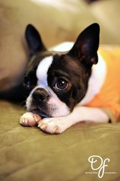 Not sure if this is a French Bulldog or Boston Terrier. I think it's a terrier. But he's cute!