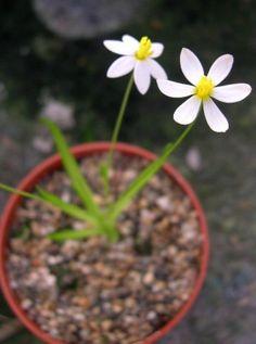 Spiloxene etesionamibensis