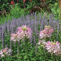 Robust Agastache 'Blue Fortune' is a mass of soft powder-blue flower spikes from July onwards, making it a magnet for butterflies and admiring visitors alike.