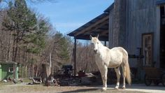 Ziggy in winter. I'm always being watched. Natural Horsemanship, Camel, Horses, March 2013, Nature, Barn, Animals, Winter, Animales