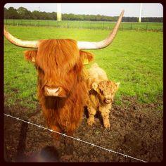 Blijft een leuke foto... Just some Cows in The field...
