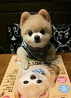 8 year old Yinusyusuke, a very popular dog in Japan and China