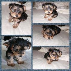 Yorkie pup w floppy ears yorkies pinterest yorkie ears and