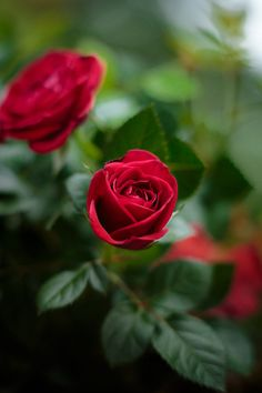 Aquaponics At Home Amazing Flowers, Beautiful Roses, Nice Flower, Red Flowers, Red Roses, Single Red Rose, Pinterest Garden, Rose Wallpaper, Led Grow Lights