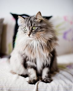 Maine Coons. <3 These cats are so loving & beautiful. Love My Oscar Meyer!! <3