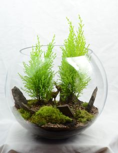 Woodland terrarium with Lemon Cypress. Found THE perfect and unique bowl for my lemon cypress bonsai ❤ Terrarium Plants, Glass Terrarium, Succulent Terrarium, Succulents Garden, Cactus Plants, Dish Garden, Bottle Garden, Glass Garden, Lemon Cypress