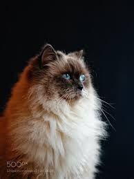 Birman Feline Cat as beautiful cat breeds in the world. They will make you fall in love.  For more beautiful cat breeds and fact about them, follow me and check on my website.