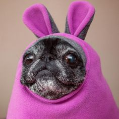 """See our website for even more info on """"Pug puppies"""". It is actually an excellent location to find out more. Pugs In Costume, Pet Costumes, Cute Baby Animals, Animals And Pets, Funny Animals, Pugs And Kisses, Baby Pugs, Pug Puppies, Pug Love"""