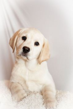 White Velvet Labradors - Puppies Available...this is just too much to handle
