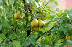 how and when to prune a pear tree