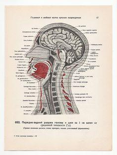 Anatomical 1947 Prints, 2 Vintage Illustrations medical skull skeleton anatomy page nude human body old anatomic freak diagram bones brain