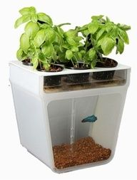 Home Aquaponics Garden - Grow fresh produce - beans, basil, thyme, baby greens, oregano, mint, parsley, spinach - in a closed-loop eco-system from Back to Roots. It uses the fish waste to naturally fertilize the plants above. In turn, the plants clean the water for your pet fish. birds-bees
