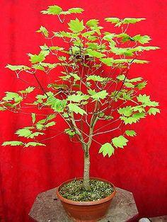 Acer japonicum Japan-Ahorn