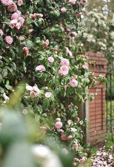 Camellias via Frolic!