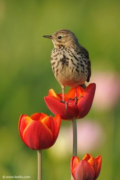 The Meadow Pipit (Anthus pratensis) is a small passerine bird which breeds in much of the northern half of Europe and also northwestern Asia, from southeastern Greenland and Iceland east to just east of the Ural Mountains in Russia, and south to central France and Romania; there is also an isolated population in the Caucasus Mountains. It is migratory over most of its range, wintering in southern Europe, north Africa and southwestern Asia.