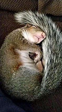 do not disturb Cute Squirrel, Baby Squirrel, Squirrels, Raccoons, Squirrel Pictures, Funny Animal Pictures, Nature Animals, Animals And Pets, Cute Funny Animals