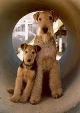 """Résultat de recherche d'images pour """"airedale puppies"""""""