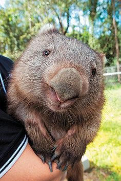 Wombat. - Wombats are short-legged, muscular quadrupedal marsupials that are native to Australia and are approximately 1 metre in length, with short, stubby tails. All are members of the family Vombatidae...