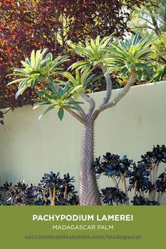 It looks like a palm tree, but its actually a succulent! Types Of Succulents, Cacti And Succulents, Planting Succulents, Cactus Plants, Succulent Containers, Container Flowers, Container Plants, Potted Plants, Succulent Landscaping