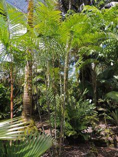 Dypsis psammophila Marcus garden, Hawaii Green Plants, Tropical Plants, Ferns, Oasis, Plant Leaves, Hawaii, Backyard, Photos, Gardens